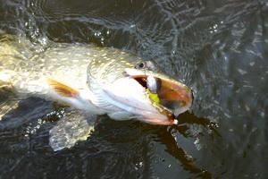 Рыбалка или советы по ловле Щуки